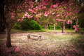 Garden in spring tranquil bench surrounded by cherry blossom trees Stock Photo