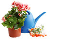 Garden still life watering can flowers white background Stock Photos