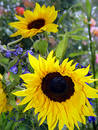 Garden with sunflowers Royalty Free Stock Photo