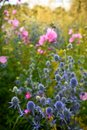 Garden: sunlit blue sea holly and pink hollyhock flowers Royalty Free Stock Photo