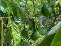 Close-up of Avocado Pear Suspended From Tree