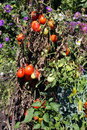Garden tomatoes Royalty Free Stock Image