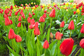 Garden Tulip During A Flower