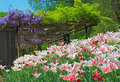 Garden with tulip and wisteria in spring Stock Image