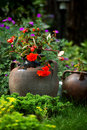 Garden and vintage pot in green with red flower Stock Photography