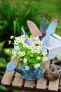 Garden work still life in summer. Camomile flowers, gloves and tools on wooden table Royalty Free Stock Photo