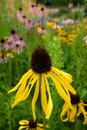 Garden: yellow black-eyed susan coneflowers Royalty Free Stock Photo