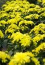Garden with yellow dahlias Royalty Free Stock Photo