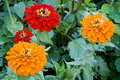 Garden Zinnias Stock Images