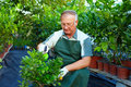 Gardener cares for citrus plants in greenhouse Stock Images