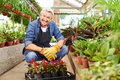 Gardener with crate of woolflower smiling elderly sitting in a greenhouse Stock Photos