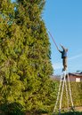 Gardener cutting the branches of a tall pine tree with cutter trimming. Royalty Free Stock Photo