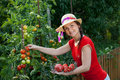 Gardener harvesting tomatoes Royalty Free Stock Image