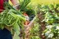 Gardener holding mixed vegetable in wicker basket. Royalty Free Stock Photo