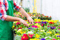 Gardener in market garden or nursery florist flower shop greenhouse Stock Photography