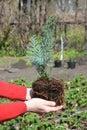 Gardener planting Chamaecyparis lawsoniana Alumii sapling. Chamaecyparis lawsoniana, known as Port Orford cedar or Lawson cypress