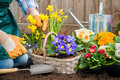 Gardener planting flowers gardeners hands in pot with dirt or soil at back yard Royalty Free Stock Image