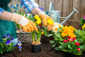 Gardener planting flowers gardeners hands in pot with dirt or soil at back yard Royalty Free Stock Photos