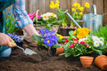 Gardener planting flowers gardeners hands in pot with dirt or soil at back yard Stock Image