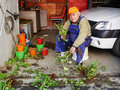 Gardener propagates geraniums from cuttings in spring