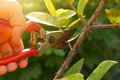 gardener pruning trees with pruning shears Royalty Free Stock Photo
