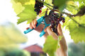 Gardener reaping red grapes. Royalty Free Stock Photo