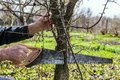 Gardener saws off the extra branches