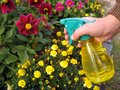 Gardener with sprayer spray the flowers hand Stock Photos