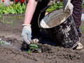 Gardener throws on the plant shoots of wood ash from a bucket Royalty Free Stock Photo