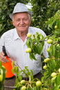 Gardener using a sprayer applying an insecticide fertilizer to his fruit shrubs selective focus Royalty Free Stock Images