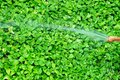 Gardener Watering Vibrant Green Devil`s Ivy Plants with Spray Hose Pipe Royalty Free Stock Photo