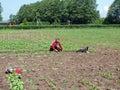 Gardener woman weeding vegetable garden on summer day Stock Photography