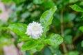 Gardenia Bush Royalty Free Stock Photo