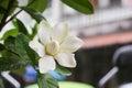 Gardenia jasminoides Royalty Free Stock Photo