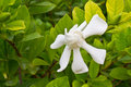 Gardenia jasminoides flower Stock Photos