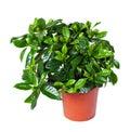 Gardenia jasminoides in pot. Isolated on white Royalty Free Stock Photo