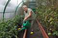 Gardening an elderly woman pours a vegetable garden in the greenhouse Royalty Free Stock Photography