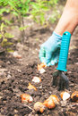 Gardening hands of caucasian active woman are seeding sowing bulb flowers in the soil chernozem the shovel is near at her Stock Image