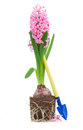 Gardening spade with hyacinth Royalty Free Stock Photos