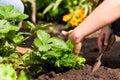 Gardening in summer - woman planting strawberries Stock Photos