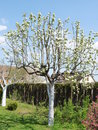 Gardening tree in spring thema of Stock Photography