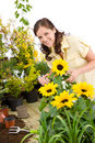 Gardening - woman cutting sunflowers and plants Royalty Free Stock Photography