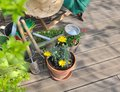 Gardening on a wooden terrace flowers pots tools and over accessories to Stock Images