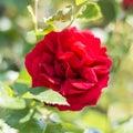 Gardenrose 03
