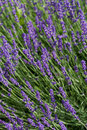 Gardens with the flourishing lavender garden in france Stock Images