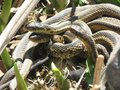 Gardner snakes sunning four balled up Stock Photos