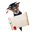 Garduate dog happy graduate holding a big diploma beside a banner Stock Photos