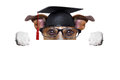 Garduate dog happy graduate holding a big diploma beside a banner Stock Image