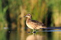 The garganey anas querquedula in natural enviroment Royalty Free Stock Image