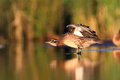 The garganey anas querquedula in natural enviroment Stock Photography